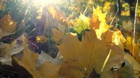 Folhas de bordo amarelas na grama na luz solar vídeos de arquivo