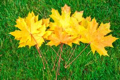 Folhas de bordo amarelas na grama verde Imagens de Stock