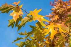 Folhas de bordo amarelas na perspectiva do céu azul brilhante Close-up natural do fundo do outono fotos de stock royalty free