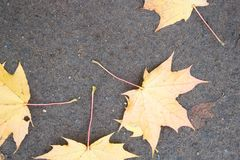 Folhas de bordo amarelas no asfalto Queda da folha do outono, vista superior Imagem de Stock