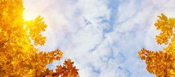 Folhas de bordo amarelas no fundo do céu ensolarado do outono Fundo da folha do outono Vista panorâmico Fotos de Stock Royalty Free