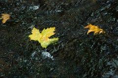 Folhas de bordo amarelas que flutuam em um rio rápido Foto de Stock Royalty Free