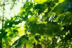 Folhas de bordo após a chuva de mola Fotografia de Stock