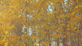Folhas de bordo bonitas do outono na luz solar filme