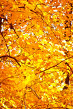 Folhas de bordo brilhantes no outono Imagem de Stock Royalty Free