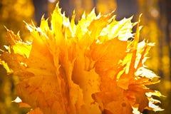 Folhas de bordo brilhantes no outono Imagens de Stock Royalty Free