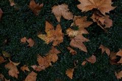 Folhas de bordo caídas na grama Fundo bonito imagem de stock