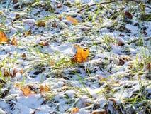 Folhas de bordo caídas no gramado verde no dia ensolarado imagens de stock royalty free