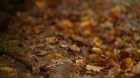 Folhas de bordo caídas, outono video estoque