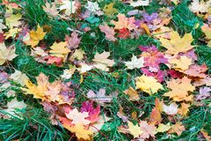 Folhas de bordo caídas que encontram-se na grama Imagem de Stock