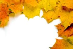 Folhas de bordo canadenses Foto de Stock