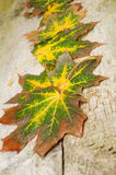 Folhas de bordo coloridas Fotos de Stock