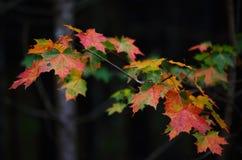 Folhas de bordo coloridas - beleza do outono imagens de stock royalty free