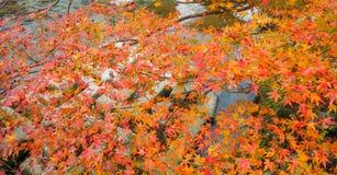 Folhas de bordo coloridas na árvore imagem de stock