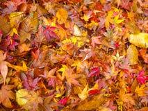 Folhas de bordo coloridas na terra fotografia de stock royalty free