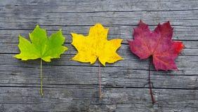 Folhas de bordo coloridas no fundo de madeira velho fotos de stock