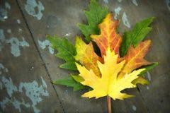 Folhas de bordo coloridas no fundo de madeira imagem de stock royalty free