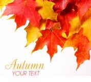Folhas de bordo com espaço da cópia sobre o branco. Queda ou outono Fotos de Stock Royalty Free