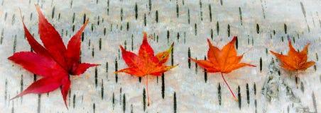 Folhas de bordo contra um log do vidoeiro de prata Imagens de Stock Royalty Free