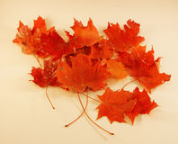 Folhas de bordo - cores de Autum Fotos de Stock Royalty Free