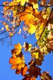 Folhas de bordo da queda fotos de stock