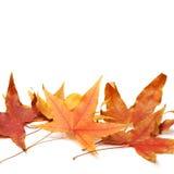 Folhas de bordo da queda Imagem de Stock