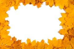 Folhas de bordo decorativas vermelhas e amarelas Imagem de Stock