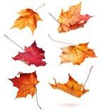 Folhas de bordo do outono Imagens de Stock Royalty Free
