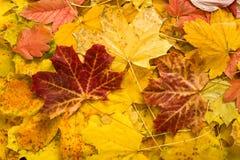 Folhas de bordo do outono como o fundo Fotos de Stock Royalty Free