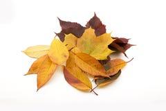 Folhas de bordo do outono isoladas Foto de Stock