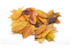 Folhas de bordo do outono isoladas Fotos de Stock Royalty Free