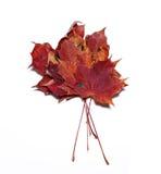 Folhas de bordo do outono isoladas Imagens de Stock