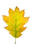 Folhas de bordo do outono isoladas Foto de Stock Royalty Free