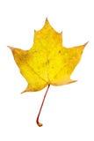 Folhas de bordo do outono isoladas Imagem de Stock Royalty Free