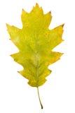 Folhas de bordo do outono isoladas Fotografia de Stock Royalty Free
