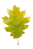 Folhas de bordo do outono isoladas Imagens de Stock Royalty Free