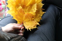 Folhas de bordo do outono nas mãos das mulheres Fotografia de Stock
