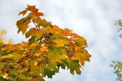 Folhas de bordo do outono no ramo contra o céu imagens de stock