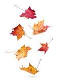 Folhas de bordo do outono que caem para baixo Imagens de Stock Royalty Free