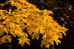 Folhas de bordo douradas Fotos de Stock