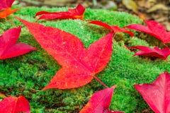 Folhas de bordo e musgo verde Foto de Stock Royalty Free