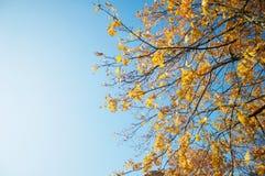 Folhas de bordo e o céu na Suécia imagens de stock
