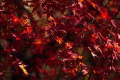 Folhas de bordo em jap?o foto de stock