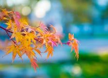 Folhas de bordo em um ramo fotos de stock