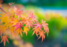 Folhas de bordo em um ramo Foto de Stock