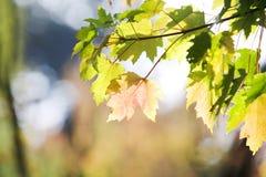 Folhas de bordo em uma árvore Imagens de Stock Royalty Free