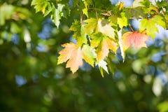 Folhas de bordo em uma árvore Foto de Stock