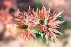Folhas de bordo frescas da mola no fundo colorido do bokeh Foto de Stock