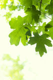 Folhas de bordo frescas em uma árvore Fotografia de Stock