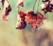 Folhas de bordo frias congeladas do gelo da manhã da geada do outono Folhas de outono congeladas no ramo Fotos de Stock Royalty Free